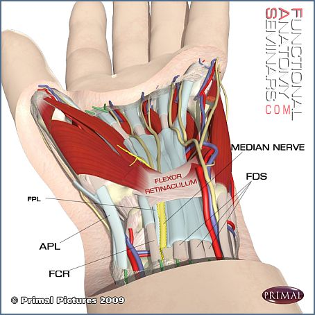 Anterior View of the Carpal Tunnel